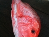 texas-red-snapper